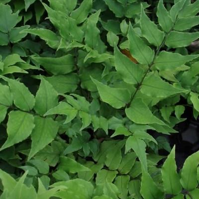Cyrtominum fortunei 'Clivicola'. - Mahogniebregne