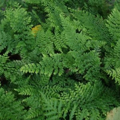 Polystichum setiferum 'Proliferum' - Mosbregne