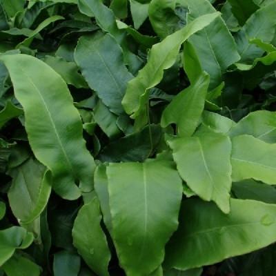 Asplenium scolopendrium (Phyllitis scolopendrium) - Hjortetunge