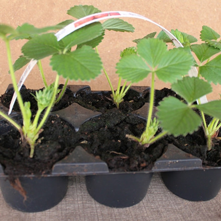 Fragaria × ananassa 'Korona' (Jordbær)- 5 stk.
