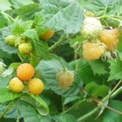 Rubus idaeus 'Fallgold'. - Säljhöjd: 30-50 cm. - Hallon (FJ) (GC)