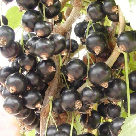 Ribes nigrum 'Titania'. Opstammet - Salgshøjde: 80-100 cm. - Solbær (FJ)