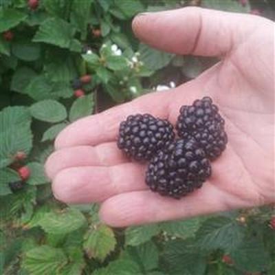Rubus fruticosus 'Loch Tay'®.   - Salgshøjde: 40-50 cm. - Tornløs Brombær  (FJ)