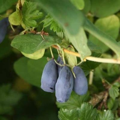 Lonicera kamt. 'Eisbär' - salgshøjde 30-50 cm. Honningbær - Blåfrugtet gedeblad (FJ)