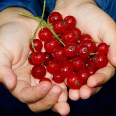 Ribes rubrum 'Jonkheer van Tetz'.  - Försäljningshöjd: 30-50 cm. - Röda vinbär (NP) (FJ)