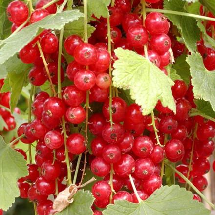 Ribes rubrum 'Jonkheer van Tetz' (Ribs)  - Salgshøjde: 30-50 cm.