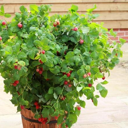 Rubus idae. 'Ruby Beauty'™ .  - Salgshøjde: 30-50 cm. - Hindbær (GC)