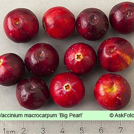 Vaccinium macrocarpon 'Big Pearl' (Tranebær) - Salgshøjde 5-10 cm