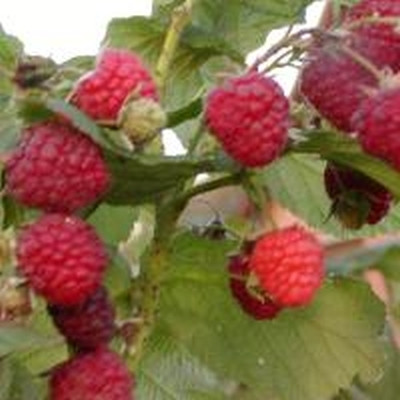 Rubus idaeus 'Glen Ample'.  - Salgshøjde: 30-50 cm. - Hindbær (FJ) (NP)