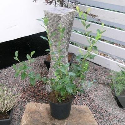 Vaccinium corymbosum 'Goldtraube'. (Blåbær) - Salgshøjde: 30-50 cm.
