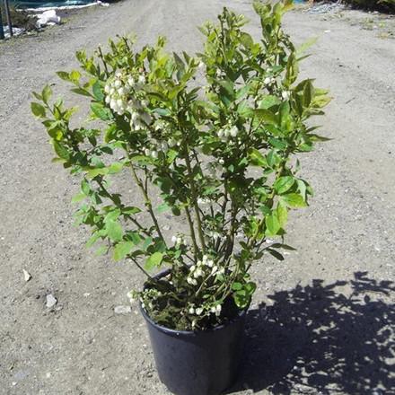 Vaccinium corymbosum 'Patriot'.  (Blåbær) - Salgshøjde: 30-50 cm.