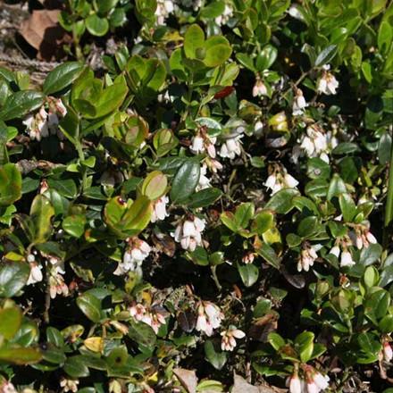 Vaccinium vitis-idaea 'Koralle'. (Tyttebær) - Salgshøjde: 5-10 cm.