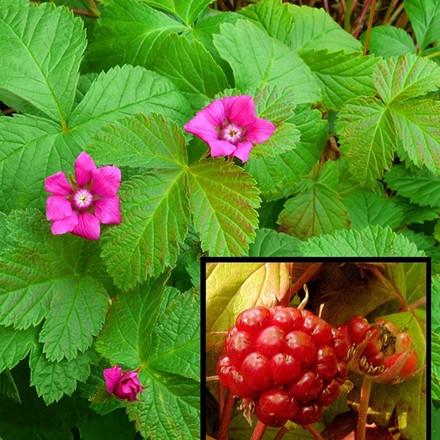 Rubus x stellarcticus 'Beata' - Allåkerbär  (GS)