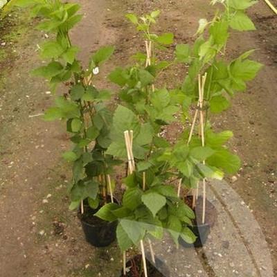 Rubus x Tayberry.  'Buckinham Tayberry' - Salgshøjde: 20-50 cm. - Taybær