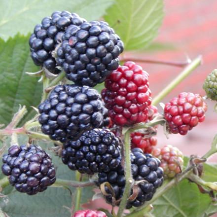 Rubus fruticosus 'Thornfree'.  - Salgshøjde: 40-50 cm. - Tornløs Brombær (NP) (FJ)