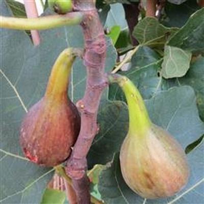 Ficus carica 'Brown Turkey'.  - Salgshøjde: 30-50 cm.. - Figen (FJ)