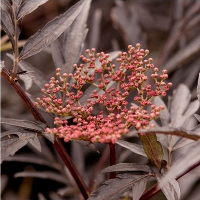 Sambucus nigra ' Black Lace'. - Salgshøjde: 30-50 cm. - Rødbladet Hyld (NP) (FJ)