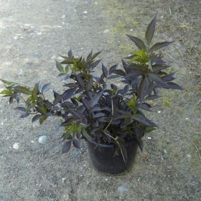 Sambucus nigra 'Black Beauty'. (Rødbladet Hyld) - Salgshøjde: 30-50 cm.