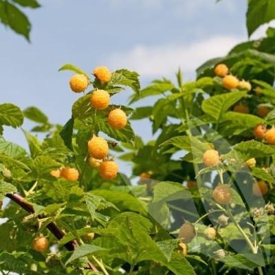 Rubus idaeus 'Golden Everest'. - Salgshøjde: 30-50 cm. - Hindbær (NP)