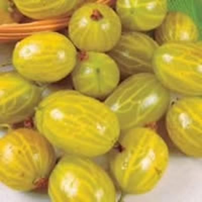 Ribes uva-crispa 'Hinnomäki gul'.  - Opstammet - Salgshøjde: 80-100 cm.  - Stikkelsbær  (FJ)