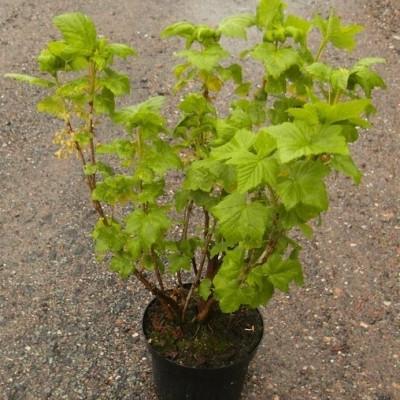 Ribes nigrum 'Titania'. - Försäljningshöjd: 30-50 cm. - Svarta vinbär (NP) (FJ) (GC)