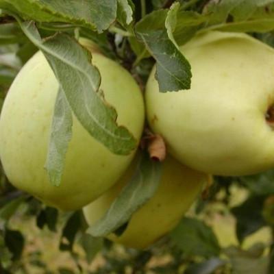 Æble 'Bodil Neergård' -salgshøjde: 130-200 cm.