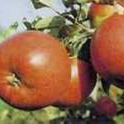 Æble 'Witos' -salgshøjde: 150-200 cm.