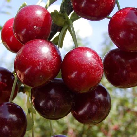 Kirsebær 'Kelleris 16' -salgshøjde: 150-200 cm.
