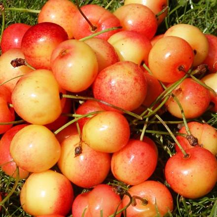 Kirsebær 'Merton Late' -salgshøjde: 150-200 cm.