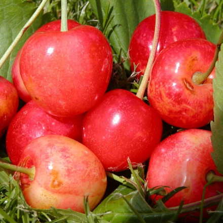 Kirsebær 'Merton Glory' -salgshøjde: 150-200 cm.