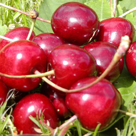 Kirsebær 'Sam' -salgshøjde: 150-200 cm.