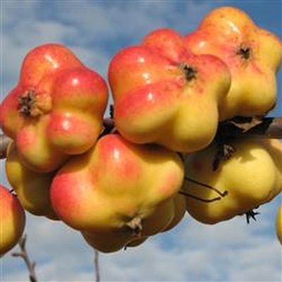 Æble 'Apistar' Stjerneæble -salgshøjde: 120-200 cm.