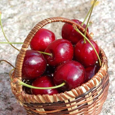 Kirsebær 'Van '-salgshøjde: 150-200 cm.