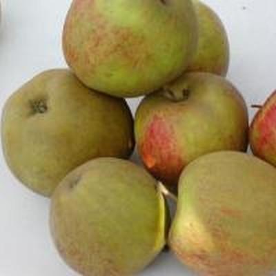 Æble 'Dronning Louise' -salgshøjde: 150-200 cm.