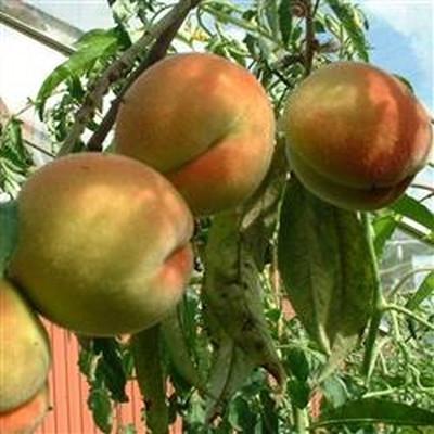 Prunus persica 'Frost' - salgshøjde: busk/lille træ 80-180 cm. - Fersken