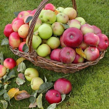 Æble familietræ - Triotræ - Ildrød Pigeon/Discovery/Rød Ananas - salgshøjde:  130-175  cm.