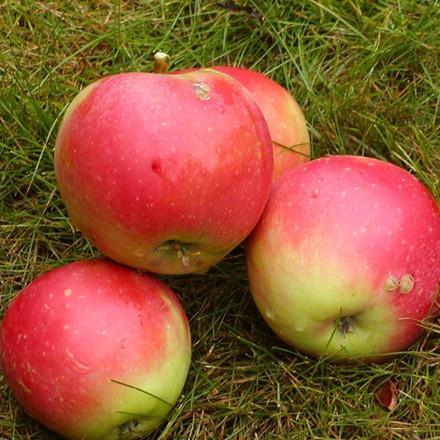 Æble familietræ - Triotræ - Elstar/Rød James Grieve/Rød Ingrid Marie - salgshøjde: 150-200 cm.