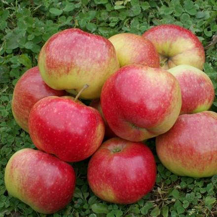Æble familietræ - Triotræ - Aroma/Ritt Bjerregaard/Katinka - salgshøjde: 130-175 cm.