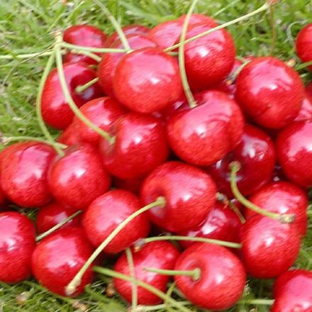 Kirsebær 'Hedelfinger' -salgshøjde: 150-200 cm.