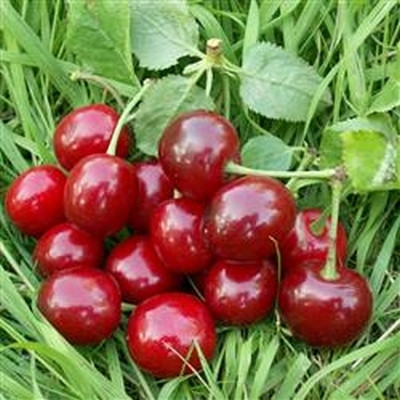 Kirsebær 'Stevnsbær Birgitte' -salgshøjde: 150-200 cm.