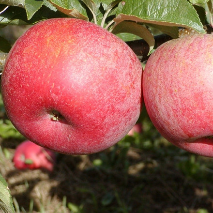 Æble 'Rød Aroma' ('Fagravoll') -salgshøjde: 150-200 cm.