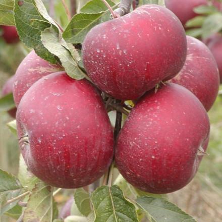 Æble 'Rød Ingrid Marie' ('Karin Schneider')  -salgshøjde: 150-200 cm.