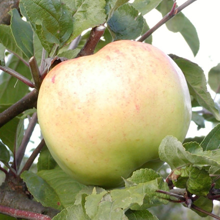 Æble 'Bøghs Citron' -salgshøjde: 150-200 cm.