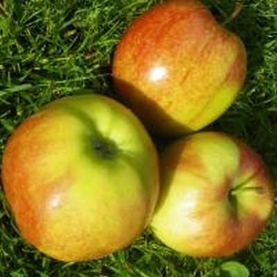 Æble 'Jonagold' (Espalier) -salgshøjde: 150-200 cm.