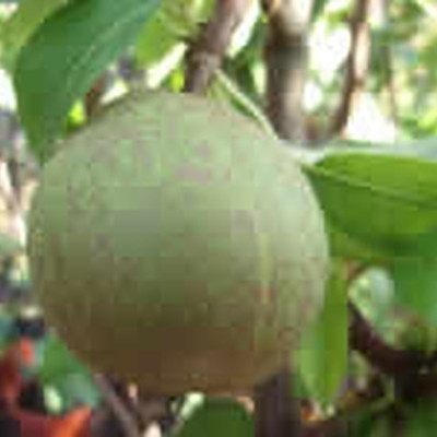 Pæretræ 'Grev Moltke' -salgshøjde: 130-175 cm.