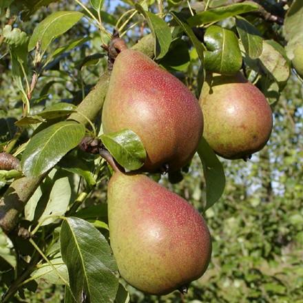Pære 'Clapp's Favorite' (3 års træ) -salgshøjde: 180-250 cm.