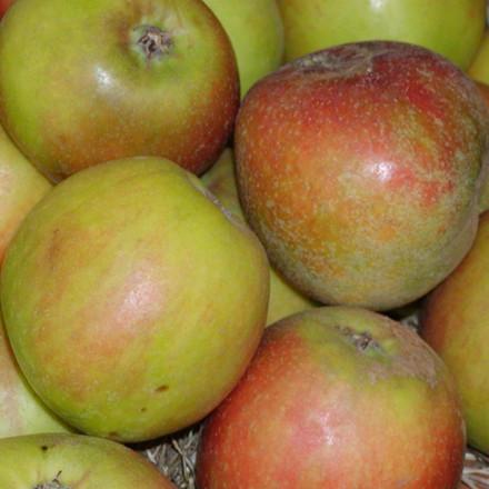 Æble 'Holsteiner Cox' (Espalier) Udsolgt til efterår 2015 -salgshøjde: 150-200 cm.
