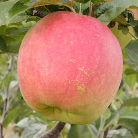 Æble 'James Grieve' (Espalier) -salgshøjde: 150-200 cm.