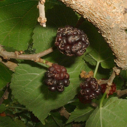Morus nigra.  -salgshøjde: 100-150 cm. - Morbær