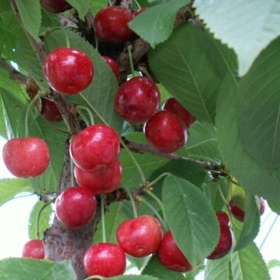 Søjlekirsebær 'Sylvia' -salgshøjde: 60-120 cm.
